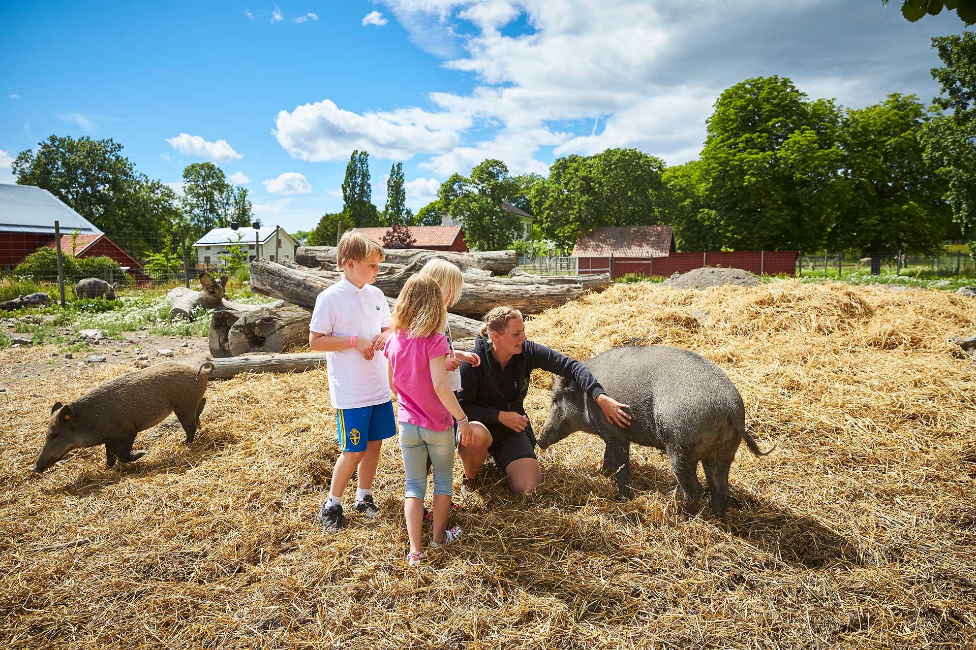 Barn klappar grisar på Kungsbyns Djurpark i Västerås. Foto: BildN